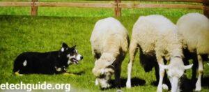 Farm Animals Australian Cattel Dogs