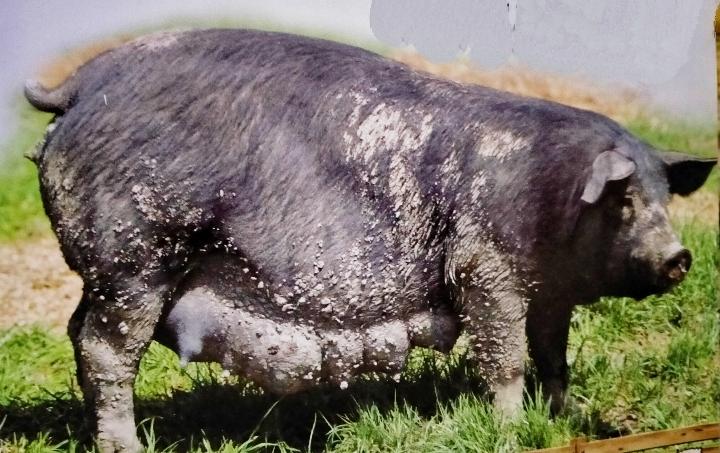 Black Pigs or Devon Pigs