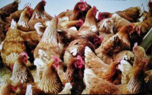 Chicken-Cornish Hens Farming