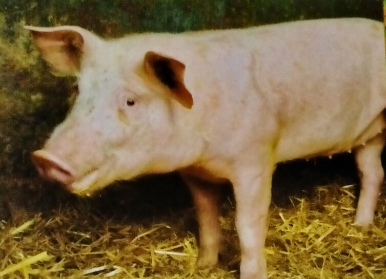 Domestic Pigs farming