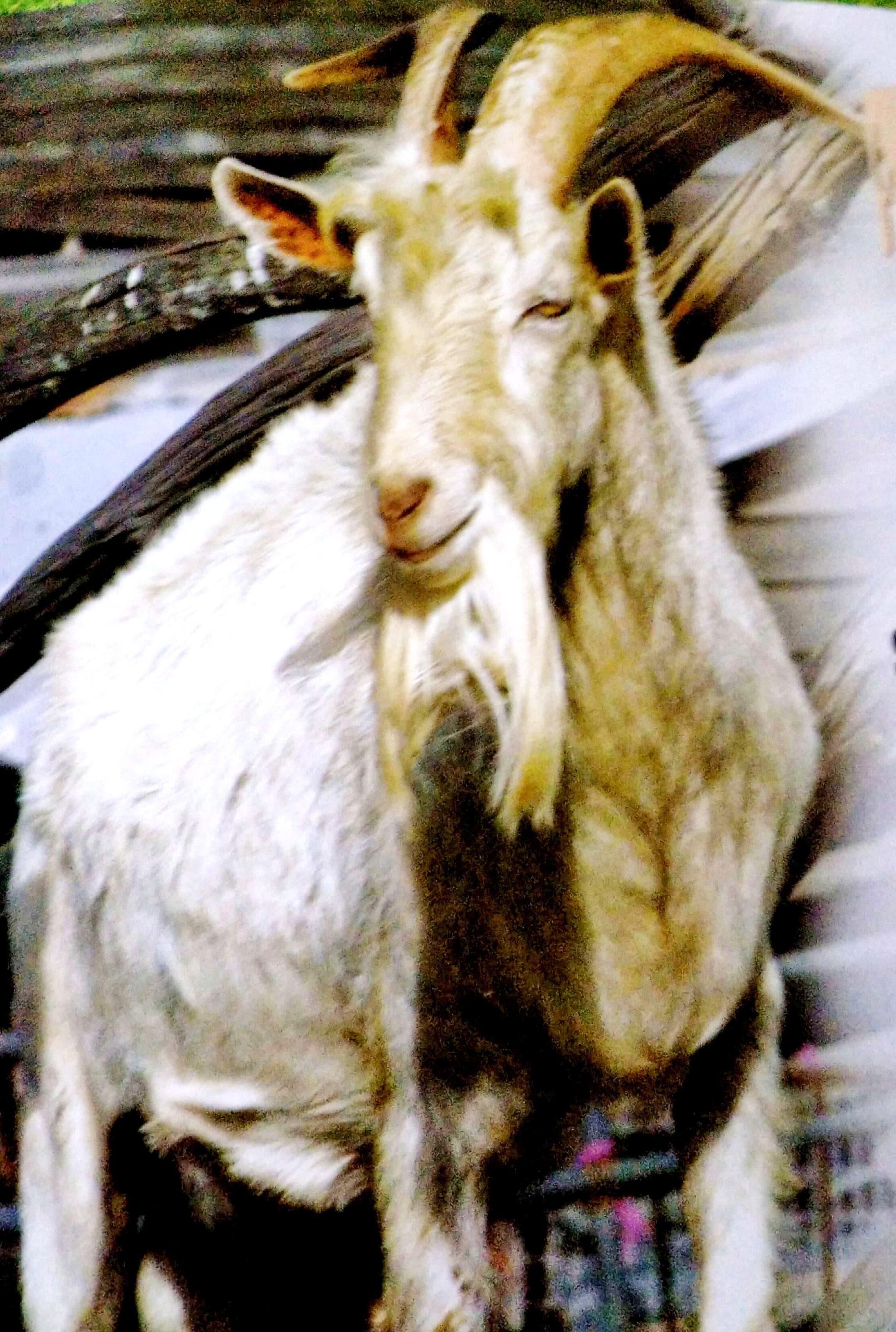 Farm animals-Goats