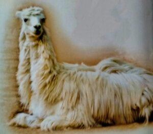 Farm animals livestock-Llama and Alpaca Care