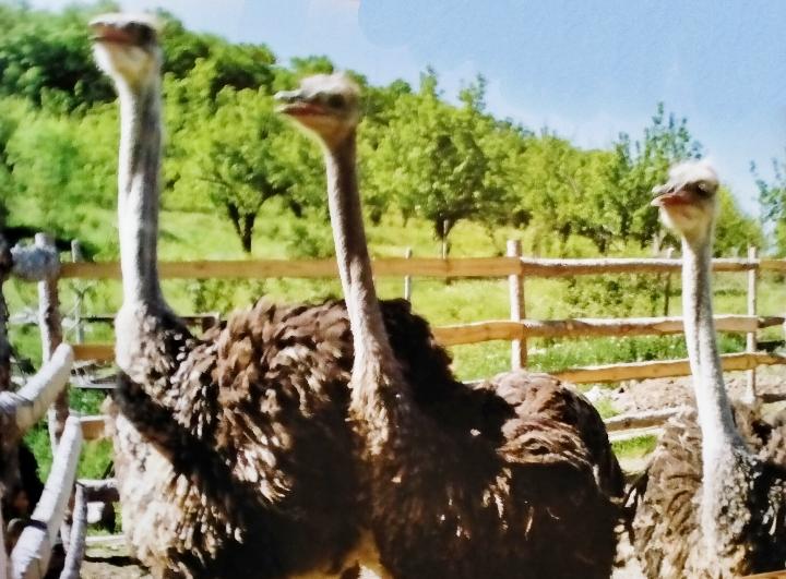 Farm animals-Ostrich livestock care