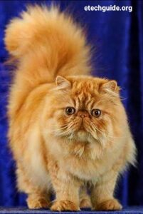 Cute Persian Cats and Kittens Care