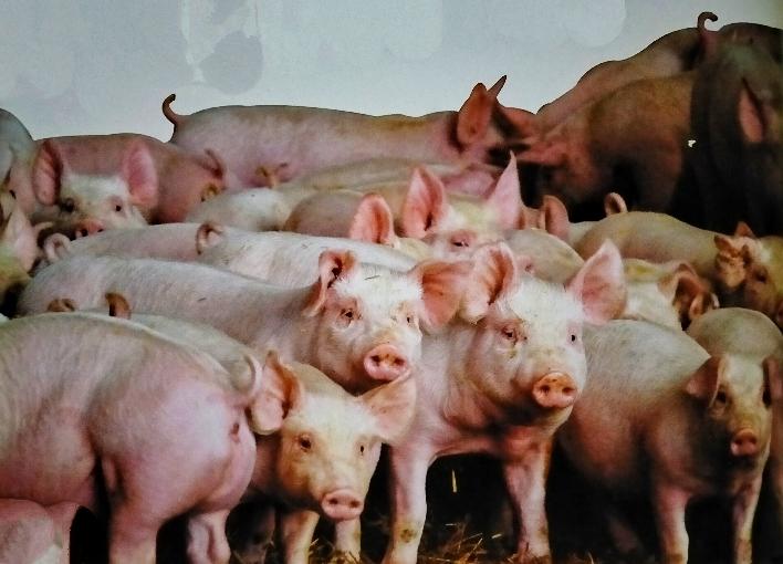 Pigs Farms-Piggeries