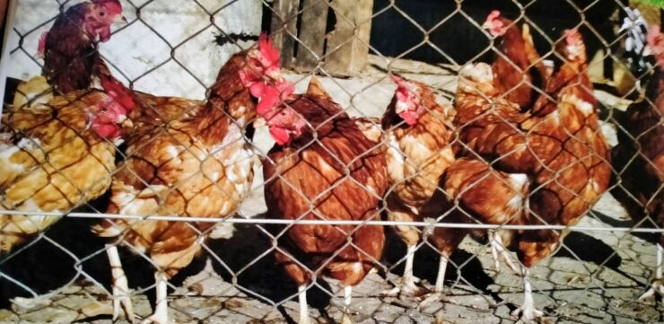 Poultry Farm and Poultry Care